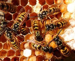 feromônios conhecidos como hidrocarbonetos saturados — é usado pelas rainhas em colônias não só de abelhas, mas também de vespas e formigas como uma espécie de uma sinalização que indica às operárias sua fertilidade, induzindo em alguns casos até mesmo ao não desenvolvimento de seus ovários.