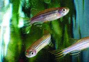 Zebrafish e Galleria mellonella, cuja larva pode substituir animais em testes de toxicidade: modelos alternativos