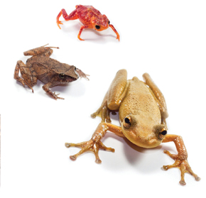 Some of the frog species used in the experiment: diversity prevents contagion