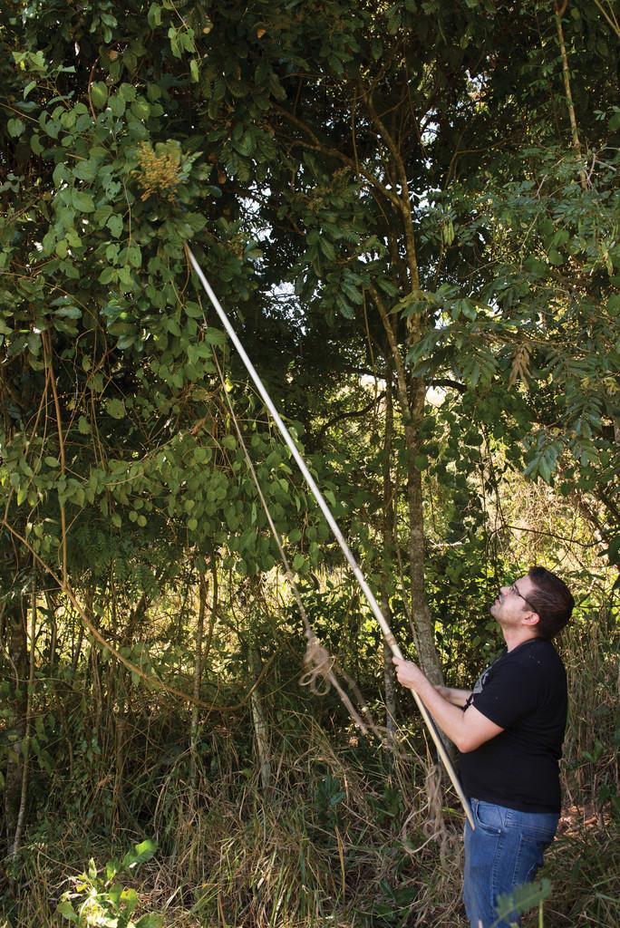 Em campo: Gaglioti coleta ramos de uma árvore...