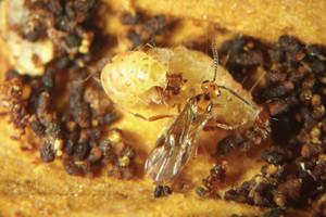 Vespa Bracon hebetor, criada na empresa Bug, ataca larva de traça (Ephestia sp.)