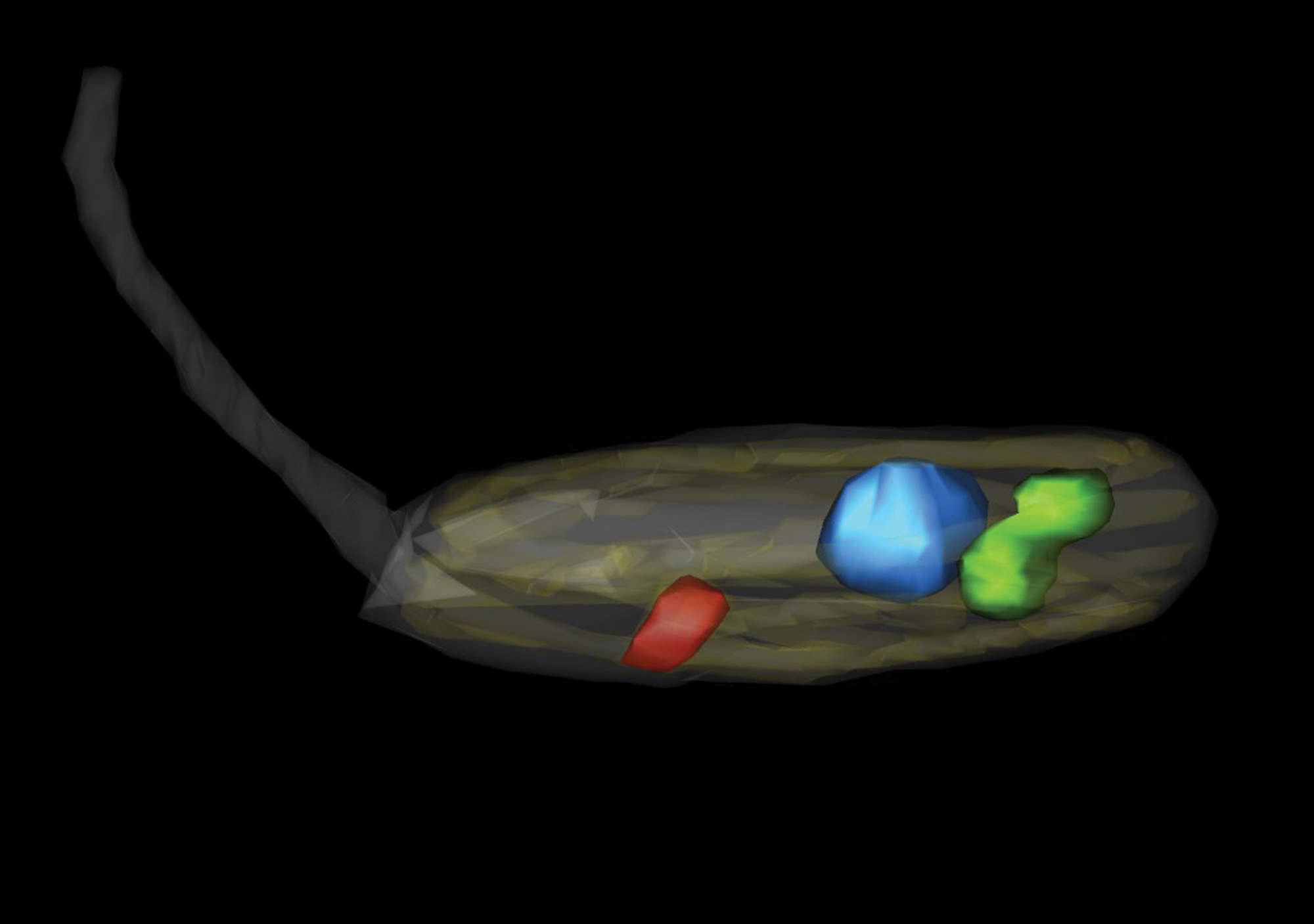 O simbionte (verde) lidera o processo de divisão junto ao núcleo (azul). O cinetoplasto (vermelho,/em>) se divide em seguida