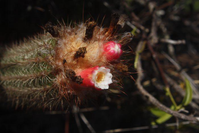 Com flores de duas cores, <em>Arrojadoa albiflora</em> é visitada por beija-flores e ocorre nas montanhas entre as cidades de Urandi e Jacaraci, no  sudoeste da Bahia. São plantas raras, ameaçadas pelo desenvolvimento da região e por colecionadores. (foto: Marlon Machado)