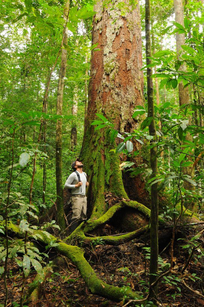 O Esecaflor, abreviação de Efeitos da Seca da Floresta, é o experimento  mais extenso e mais duradouro no mundo a avaliar o efeito de seca numa floresta tropical. Na imagem, o pesquisador Rafael Oliveira na parcela controle - parte não alterada pelo estudo - na Floresta Nacional de Caxiuanã, no Pará (foto: Patrick Meir)