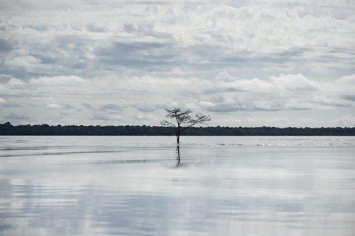Na Amazônia, tão presente quanto a floresta é a água. Às vezes as duas se encontram, como este ipê da espécie <em>Tabebuia barbata</em> no rio Negro