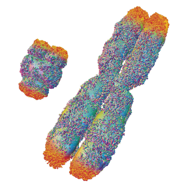 Reconstituição artística de dois cromossomos, estruturas que empacotam o DNA nas células. Os telômeros (em laranja) protegem as pontas dos cromossomos