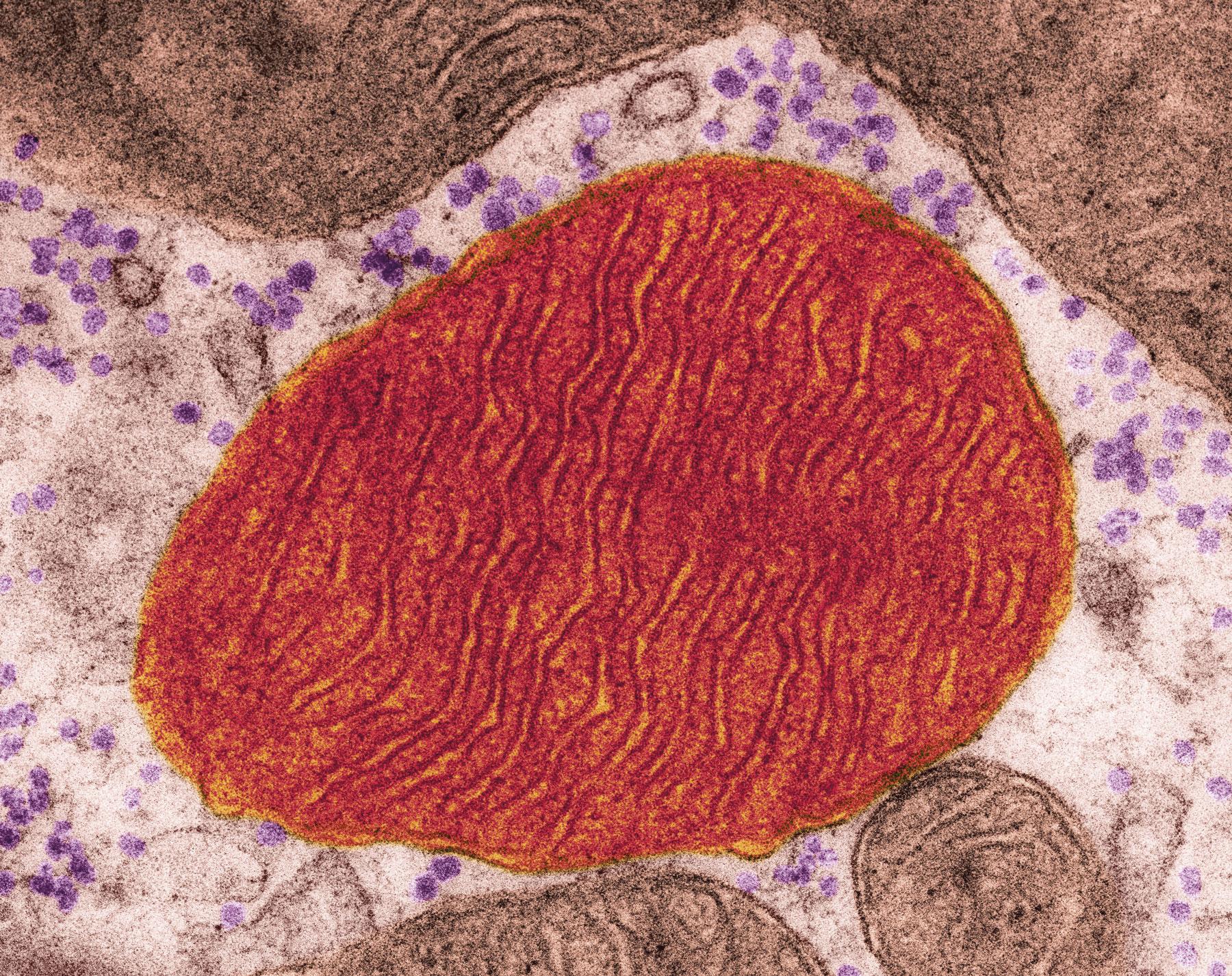 Uma mitocôndria, organela celular que converte nutrientes em energia, observada ao microscópio eletrônico