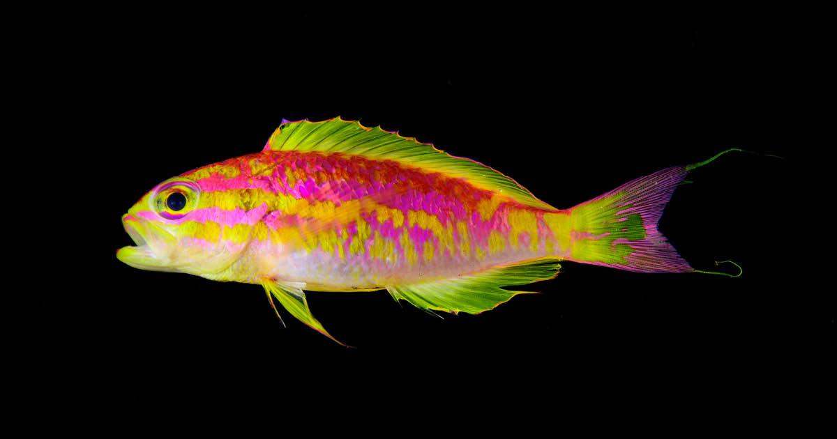 Nova Especie De Peixe Colorido Surpreende Pesquisadores Revista