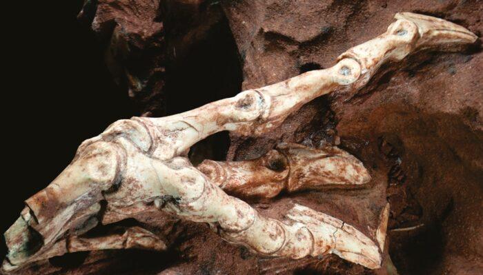 Fóssil da pata direita como preservado na rocha