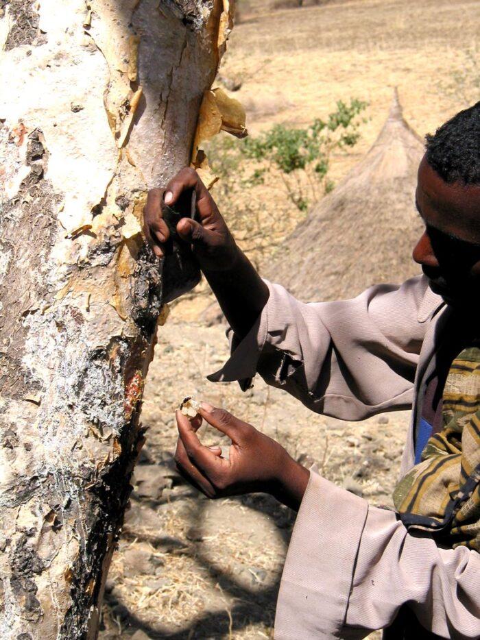 Etíope retira seiva; atividade é modo de subsistência na região (crédito: Motuma Tolera/Universidade Hawassa)