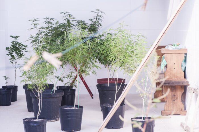 Cidinha Carvalho tem autorização judicial para cultivo doméstico de <em>Cannabis sativa</em>