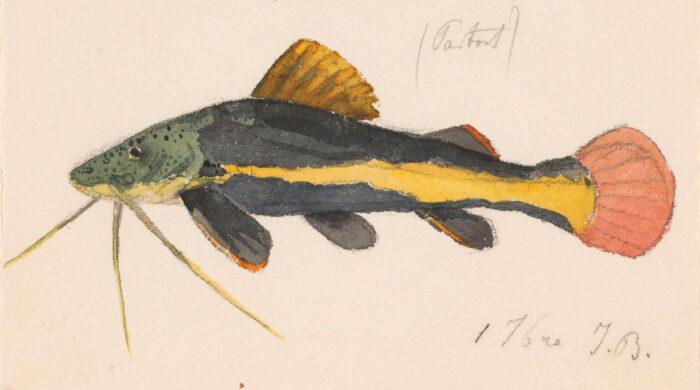 Bagre de cola roja (<em>Phractocephalus hemioliopterus</em>)