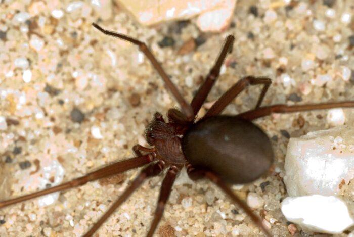 Trabalho delicado  aranha-marrom...
