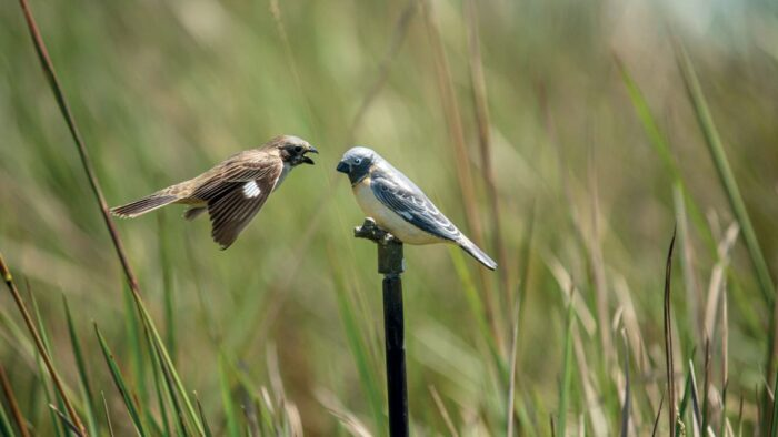 A sequence of images showing the aggressive reactions of a male Ibera seedeater to the presence in its territory of a decoy mimicking another male of its species